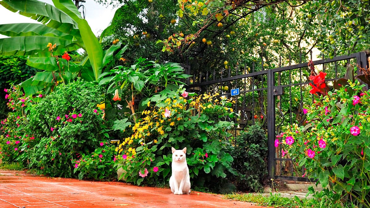 sapanca-kedi