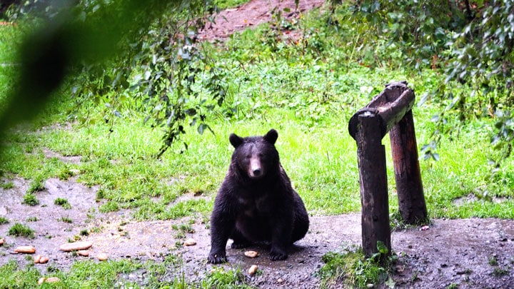 bear-watching-zarnesti